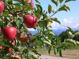 リンゴ1 (5).JPG