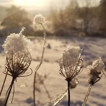 winter queen anne's lace.jpg