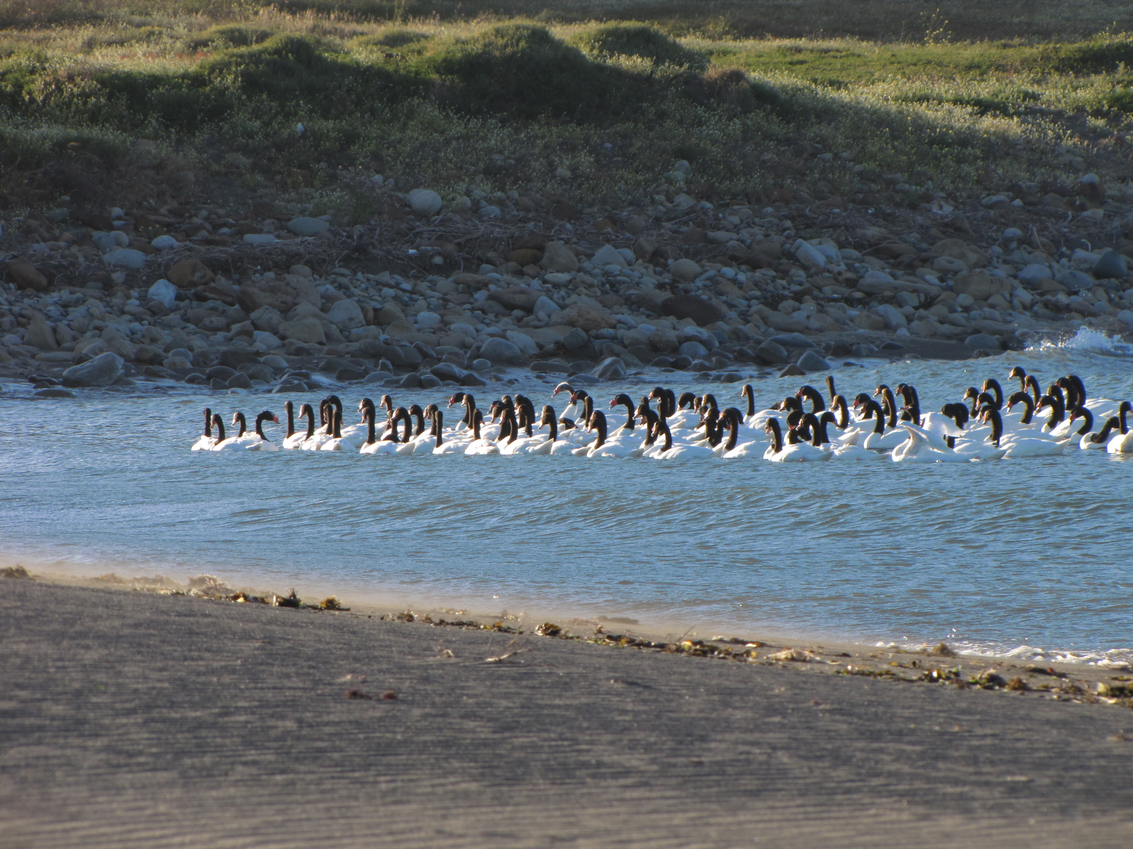 Cisnes en La Boca