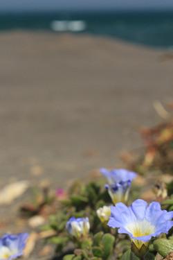 Flores de la arena