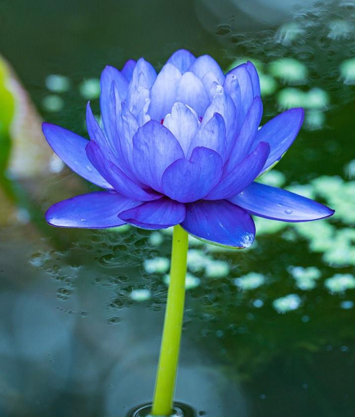 McKee Waterlily