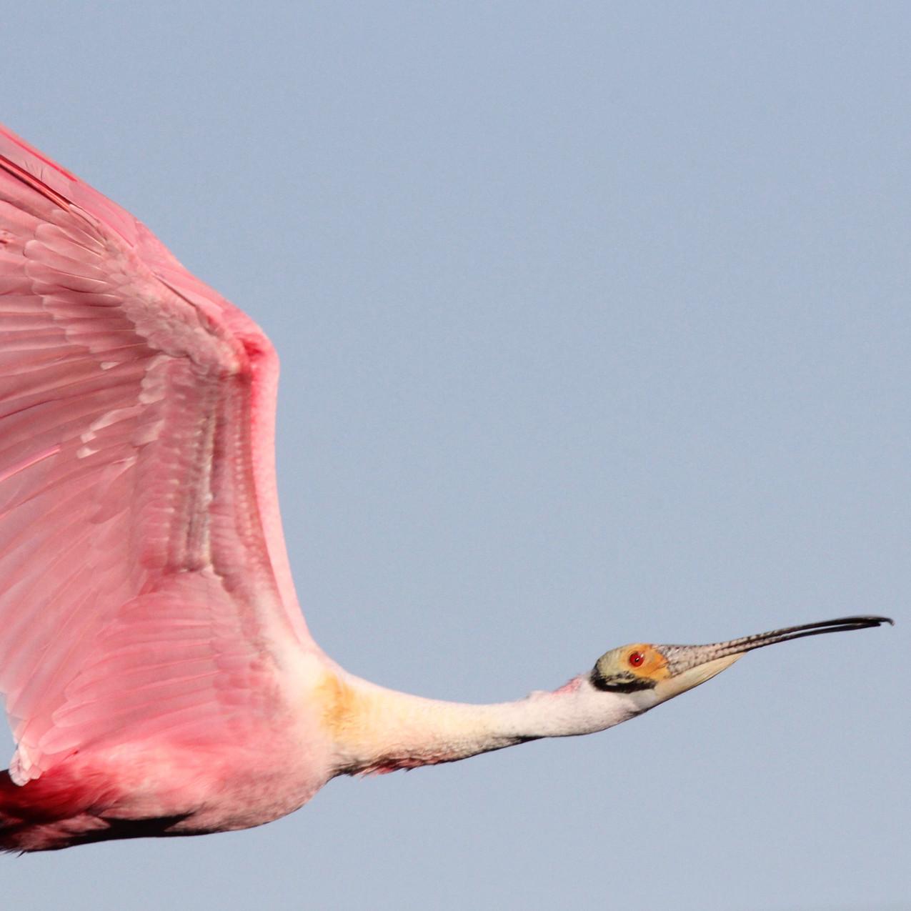 roseate-spoonbill