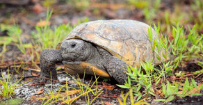 Celebrate Gopher Tortoise Day