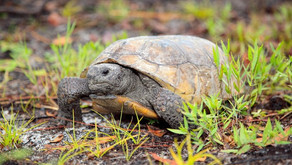 Celebrate Gopher Tortoise Day