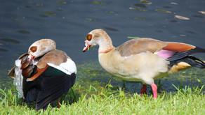 Duck Duck Goose?