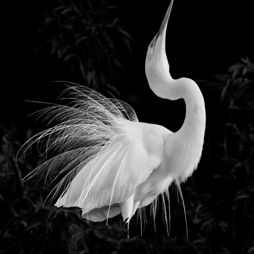 Great Egret Mating Display, Dawn Currie