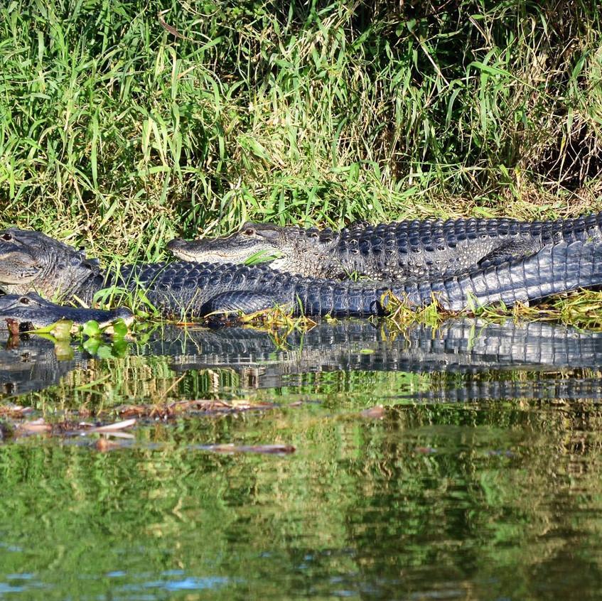 Alligators basking in the sun