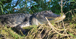 Love is in the Air, Gators Everywhere