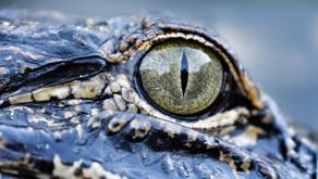 Coexisting with Alligators