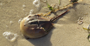 Be Kind to Horseshoe Crabs