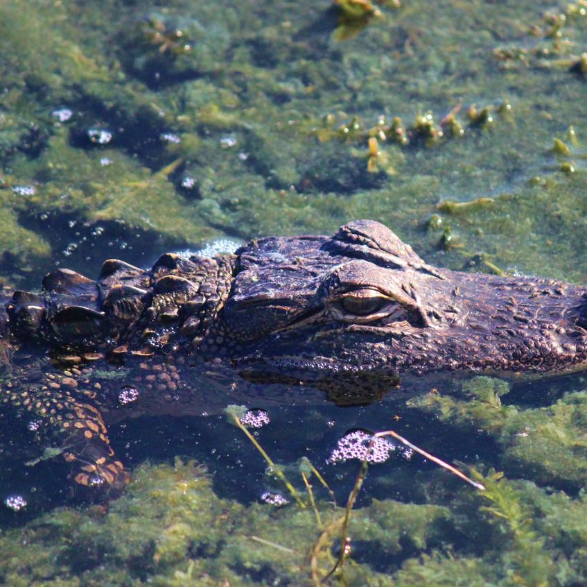 Small alligator swimming
