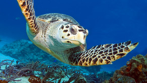 Sea Turtles Return Home to Our Shores