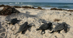 Help the Hatchlings