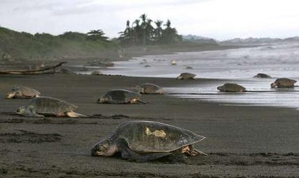 MASSIVE ARRIVAL OF TURTLES (Aug, Sep, Oct, Nov, Dic)
