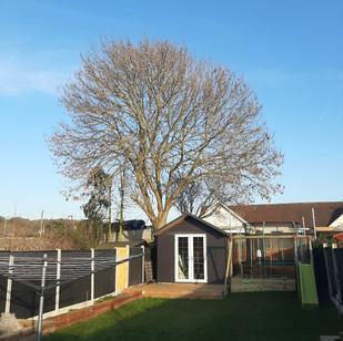 Ash Tree Reduction