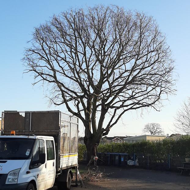 Oak Reduction