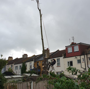 Sycamore Removal