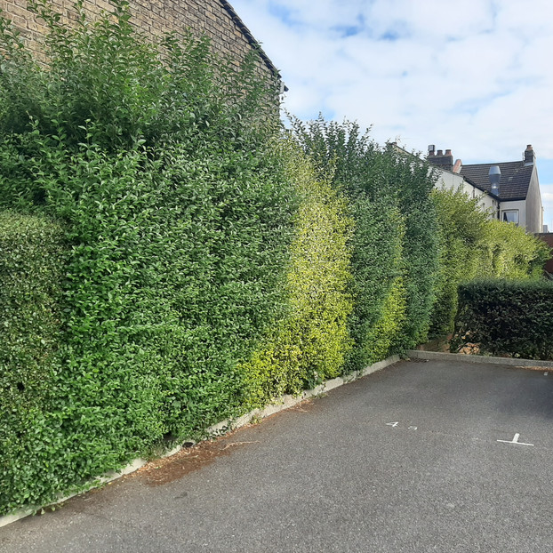 Hedge Maintenance & Shaping