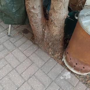 Conifer Removal