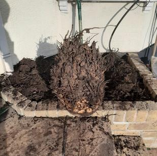 Palm Stump Removal
