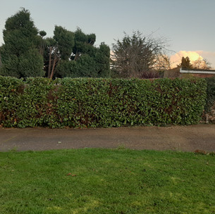 A small Laurel hedge reduced and trimmed by the team.