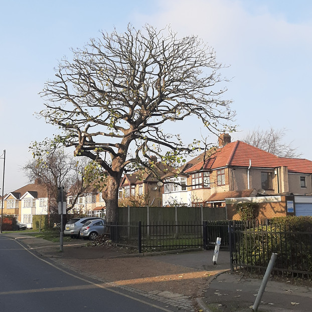 Sycamore Reduction