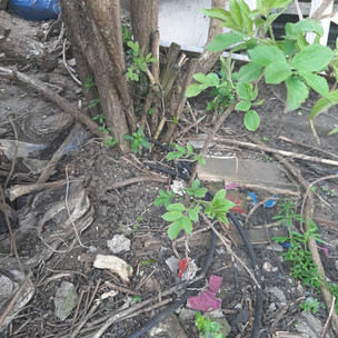 A small self-seeded Elder shrub felled by the team. The stump was treated with a herbicide product to prevent regrowth.