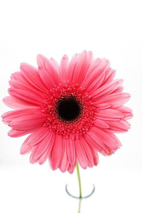 Dark Eye Gerbera- Pink