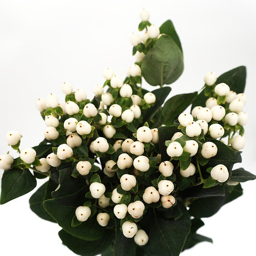 Hypericum- White