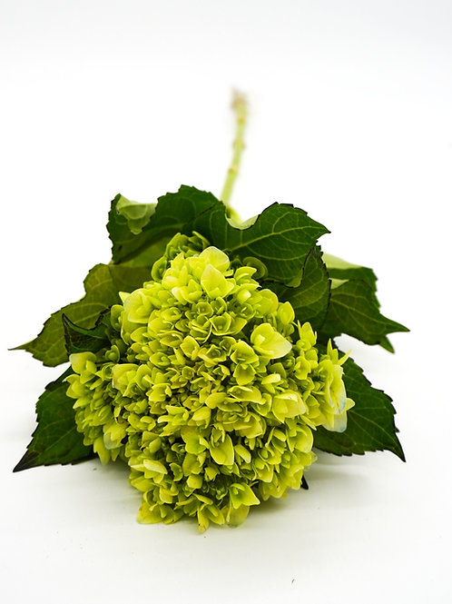 Hydrangea- Mini Green