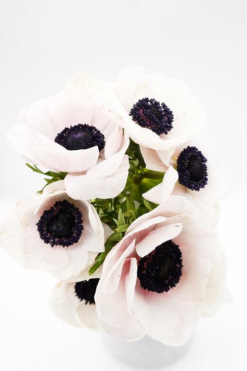 Anemones- White Panda