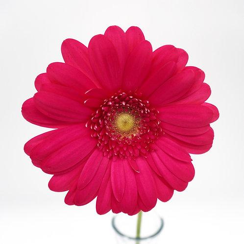 Light Eye Gerbera- Hot Pink