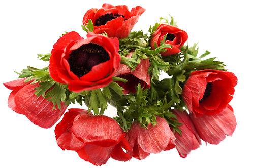 Anemones- Red
