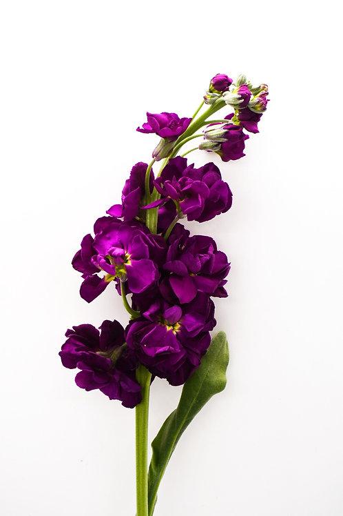 Stock- Purple