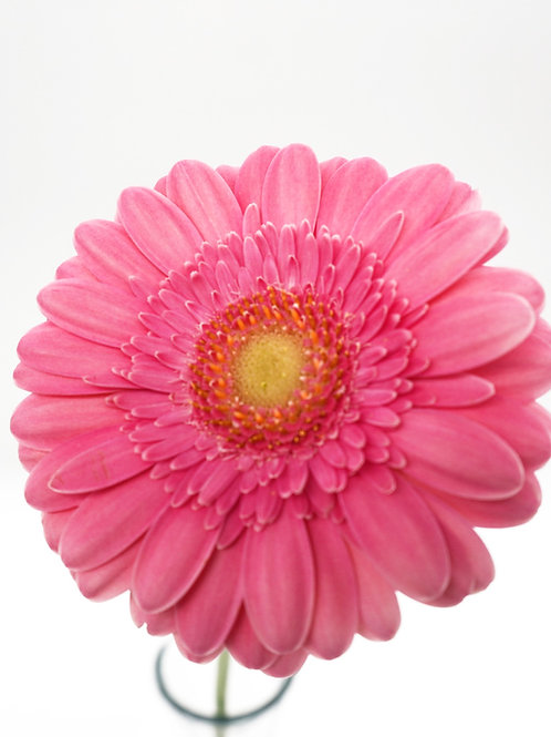 Mini Gebera- Pink
