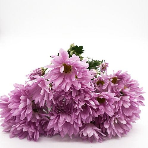 Daisy- Lavender