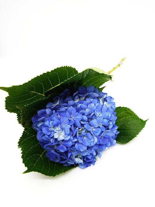 Shocking Blue Hydrangea