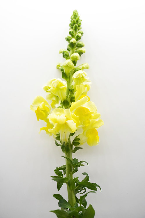 Snapdragons- Yellow
