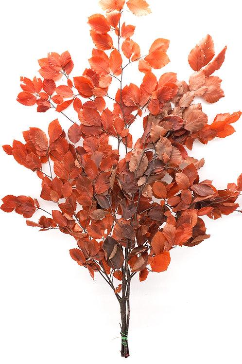 Copper Beach- Red