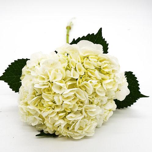 Hydrangea- Specialty White