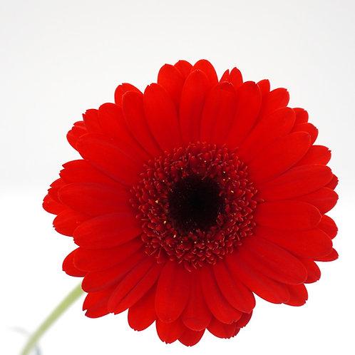 Mini Gerbera- Red