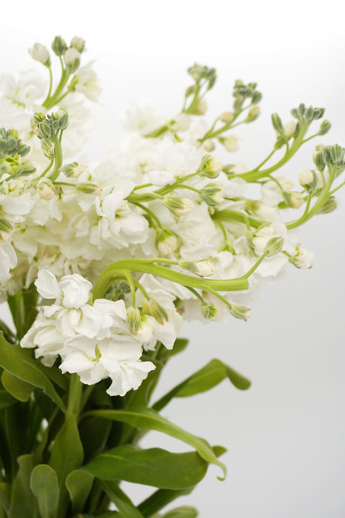 Stock Flowers- White
