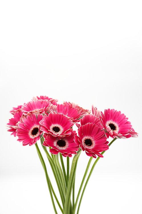 Micro Gerbera- Pink