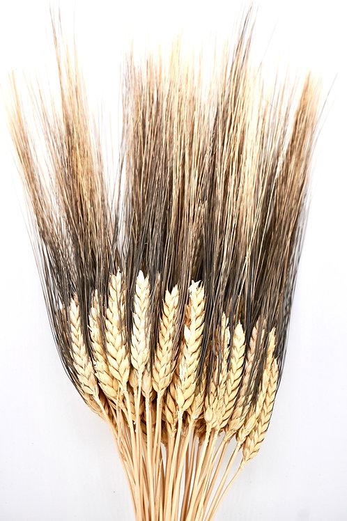 Wheat- Blackbeard