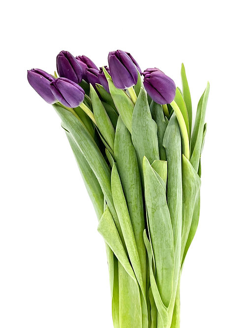 Tulip- Purple