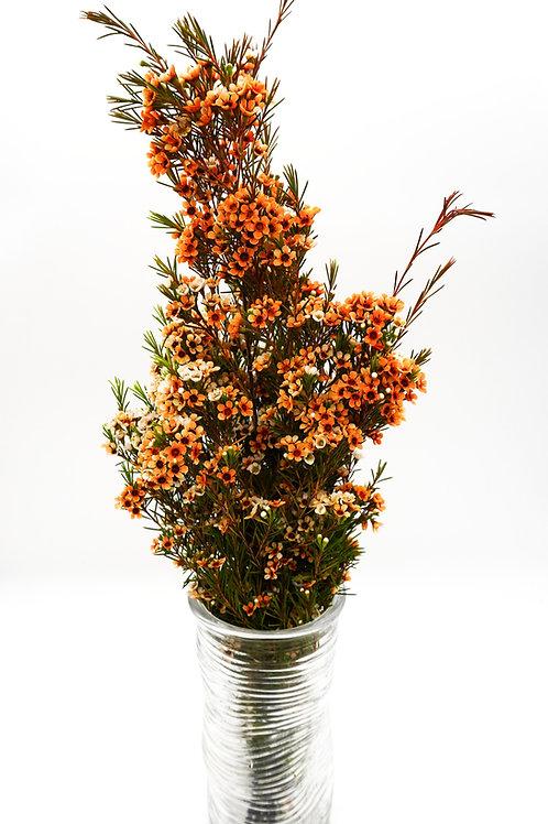 Wax- Tinted Orange