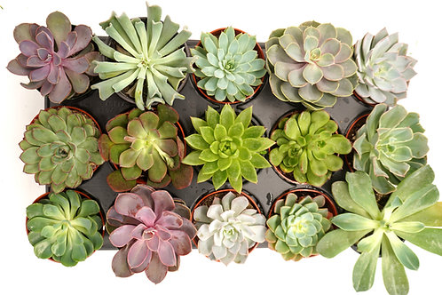 4-inch Succulents (case of 15)