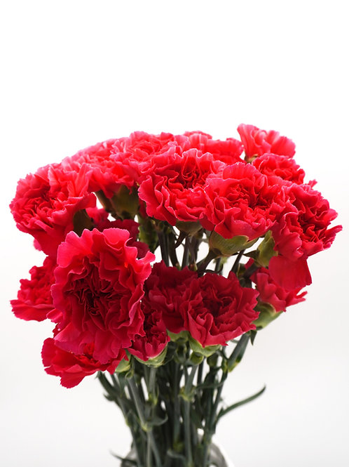 Carnation- Hot Pink