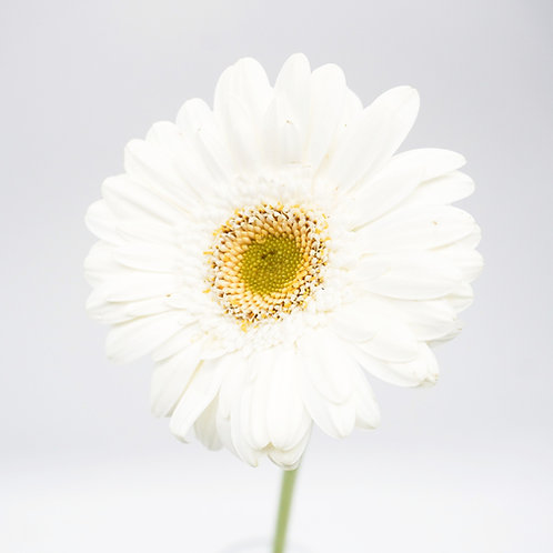 Mini Gerbera- Light Eye White