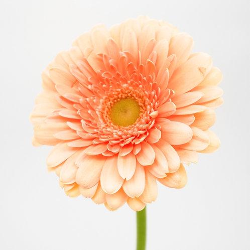 Mini Gerbera- Orange